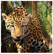Costa Rica protects six per cent of the globe's biodiversity that inhabits the country, including the jaguar. (Photo: Bjørn Christian Tørrissen)