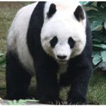 "The giant panda has been taken off the endangered species list by the International Union for Conservation of Nature thanks to successful breeding and conservation efforts under way since the mid-1980s. They do, however, remain ""vulnerable."" (Photo: J. Patrick Fischer)"