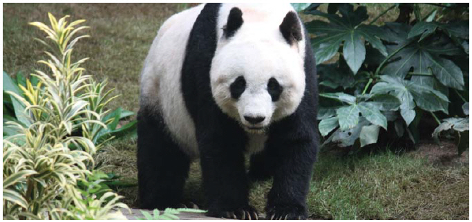 """The giant panda has been taken off the endangered species list by the International Union for Conservation of Nature thanks to successful breeding and conservation efforts under way since the mid-1980s. They do, however, remain """"vulnerable."""" (Photo: J. Patrick Fischer)"""