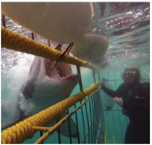 Cage-diving to view sharks became a commercial endeavour in the early 1990s and is especially popular in South Africa. (Photo: Lukas Fourie)