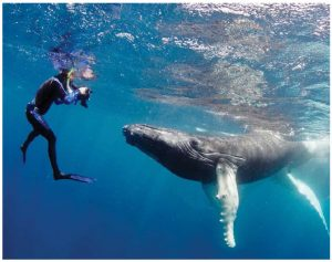 From January through April, the world's largest gathering of humpback whales takes place in waters of the Dominican Republic's 775-square-kilometre Silver Bank. Here, photographer Mike Beedell takes a photo of a curious whale. (Photo: Mike Beedell)