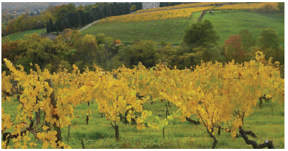 Vines at la Coulée de Serrant winery in France's Loire Valley. (Photo: Coulée de serrant)