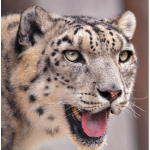Alex Dehgan's The Snow Leopard Project is part adventure tale, part policy manual and part environmental essay, writes Christina Spencer. (Photo: tambako the jaguar)