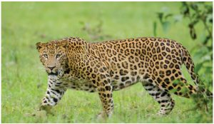 To serve an Asian market, leopards are hunted for their claws and teeth while poisoned lions are hunted for their hacked-off faces and paws. (Photo: Srikaanth Sekar)