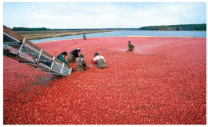 The most successful and widely cultivated cranberries and other crops are the direct result of years of careful breeding. They're grown primarily in Canada and a few states in the U.S. (Photo: USDA-ARS photo by Keith Weller)
