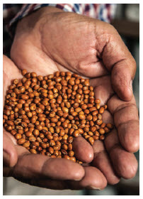 Show here are pigeon peas from the gene bank in India. (Photo: crop trust)