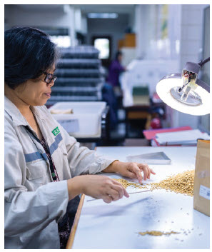 Workers conduct quality control tests over specially produced rice for archiving and distribution at the Philippines-based International Rice Research Institute. (Photo: crop trust)