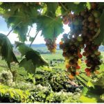 Wine-growing practices being rewritten
