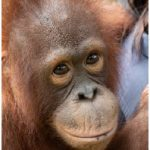 The job of caring for today's needy orangutans is enormous and complex. (Photo: courtesy of Orangutan Foundation International)