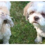 Molly, left, is a 13-year-old Shih Tzu and Maltese mix, and Stella is a 10-year-old Shih Tzu. Stella has been the family's long-time pet and they adopted Molly and Misty from Freedom Dog Rescue during the pandemic. (Photo: Ülle Baum)