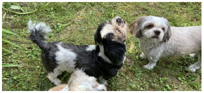 The black and white pup, Misty, is a 15-year-old Shih Tzu. (Photo: Ülle Baum)